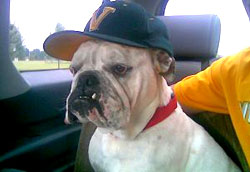 Rescued Bulldog Wearing a Hat